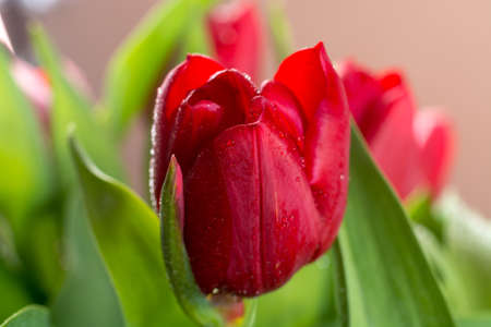 Beautiful spring fresh bouquet of red Dutch tulips close up