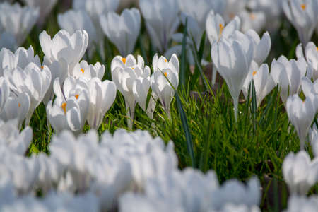 Spring white crocus flowers on green grass spring season in stock spring white crocus flowers on green grass spring season in holland stock photo 94014981 mightylinksfo