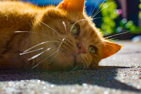 Cute red cat with big whisckers enjoing hot sun lights in garden