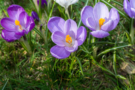 Spring purple crocus flowers on green grass, spring season in Holland