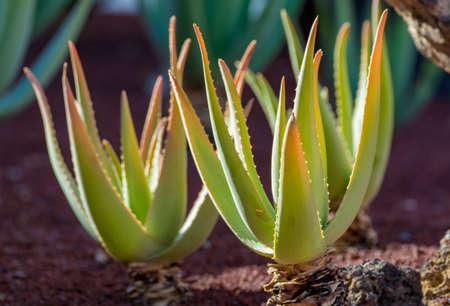 Aloe vera plantation, cultivation of aloe vera, healthy plant used for medicine, cosmetics, skin care, decoration Stock Photo