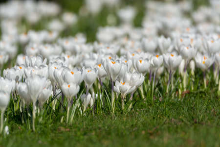 Spring white crocus flowers on green grass, spring season in Holland