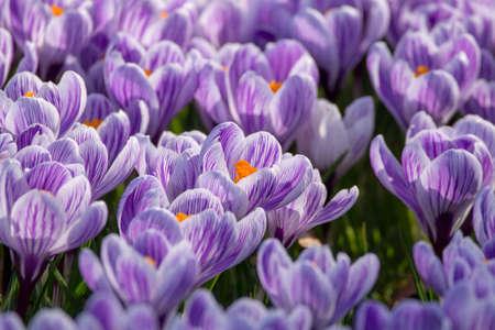 Spring purple crocus flowers on green grass, spring season in Holland