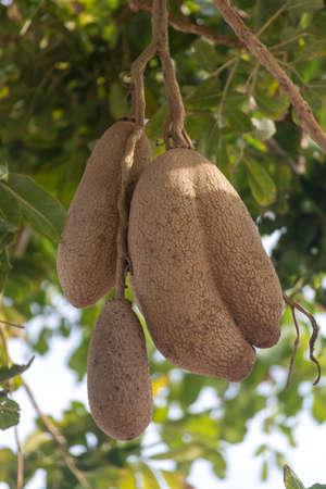 Inedible fruits of evergreen sausage tree, Kigelia africana, food for savannah animals. Stok Fotoğraf