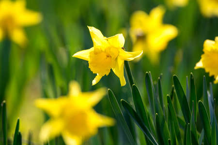 Blossoming of spring yellow daffodils flowers in park spring blossoming of spring yellow daffodils flowers in park spring season stock photo 97230042 mightylinksfo