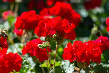 Rote Pelargonie blüht im sonnigen Garten nah oben