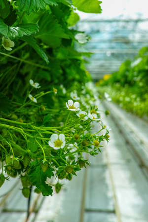 Bio farming in the Netherlands, Dutch glass greenhouse with strawberry plants growing in raised beds close up Stock Photo