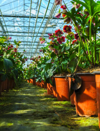 Helleborus or  Christmas rose, wither flowering garden plant, cultivated as decorative or ornamental flower, growing in greenhouse.
