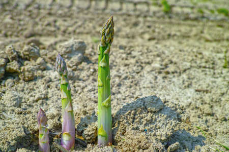 New season of green asparagus, field with growing green asparagus vegetable
