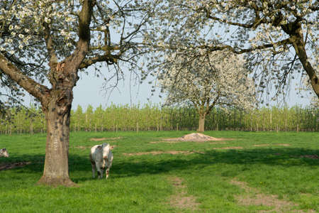 Belgian Blue cow, very big special beef cattle with double-muscling lean on farm in springtime Stock Photo
