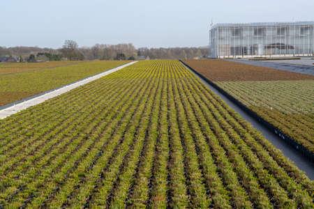 Cultivation on farm fields of Calluna vulgaris plants, heather plant growth on thousands small flowerpots Banque d'images