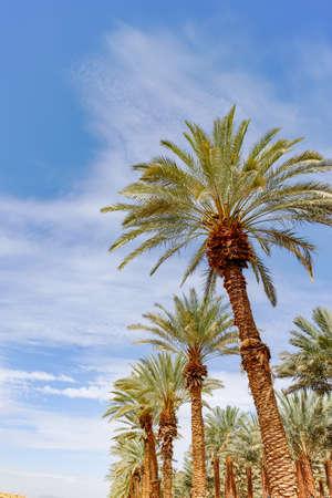 Plantation de Phoenix dactylifera, communément connu sous le nom de palmiers dattiers ou dattiers dans le désert d'Arava et du Néguev, en Israël, la culture de délicieux fruits de dattes Medjool