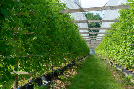 Indoor bio farming in Netherlands, greenhouse with rows of cultivated raspberry plants in spring season Foto de archivo