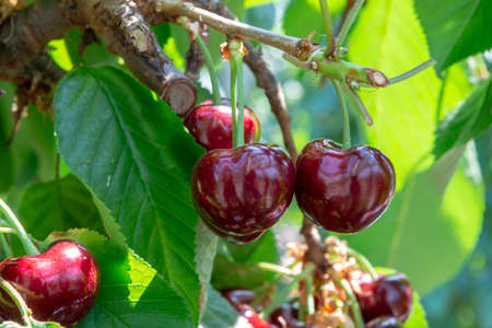 Organic sweet cherry ripening on cherry tree close up, sunny day