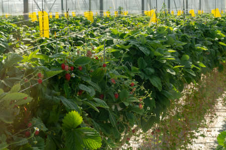 Greenhouse with rows of ripe big red wild strawberries plants, ready for harvest, sweet tasty organic berry Standard-Bild