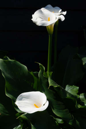 White calla lily plant with flowers on black background, dark key concept