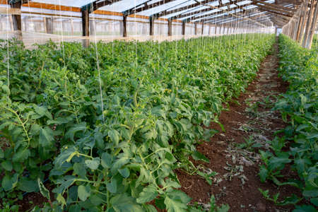Bio farming in Italy, cultivation of tomatoes in greenhouse, agriculrutal region near Fondi, Lazio, Italy