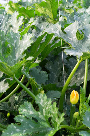 Zucchini organic plants growing in greenhouse, fertilized with bio compost