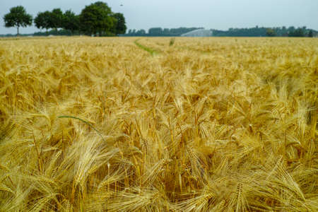Bio farming, ripe yellow durum wheat plants growing on field, readi to harvest close up, food background Stock Photo