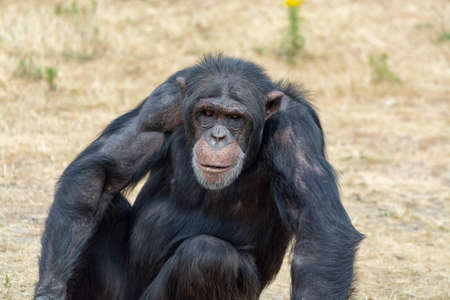 Black chimpanzees monkey leaving in safari park close up