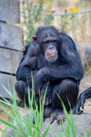 Black chimpanzees monkey leaving in safari park close up