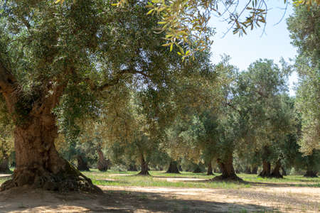 Very old olive trees in Apulia, Italy, famous center of extra virgine olive oil production