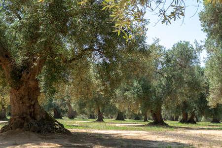 Zeer oude olijfbomen in Apulië, Italië, beroemd centrum van extra virgine olijfolieproductie Stockfoto