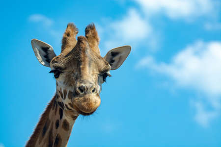 Portrait of funny looking giraffe animal only head and neck close up with blue sky background