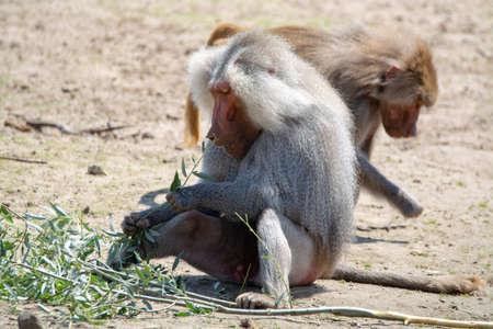 Adult male hamadryas baboon monkey sitting and eating bamboo leaves Stock Photo
