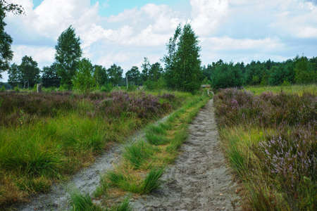 Large green forest in the Netherlands and Belgium, Kempen pine forest and fields full of flowering heather, place for walking and cycling Stock Photo