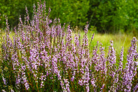 Blossom of heather plant in Kempen pine forest, North Brabant, Netherlands Stock Photo