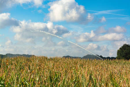 Ð¡atastrophic drought and heat in Europe, nature disaster, irrigtation with machine and lake water yellow corn fields in North Brabant, Netherlands
