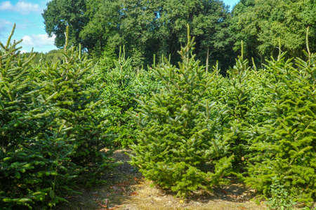 Plantatnion of young green fir Christmas trees, nordmann fir and another fir plants cultivation, ready for sale for Christmas and New year celebratoin in winter