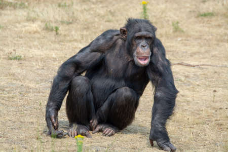 Black chimpanzees monkey sitting on the grass
