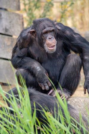 Black chimpanzees monkey sitting close up Stock Photo