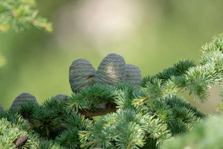 Himalayan cedar or deodar cedar tree with female cones, Christmas background close up Stock Photo