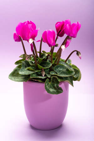 One small pink cyclamen plant with flowers in lilac pot on trendy pastel lilac background close up copy space, minimal colors concept