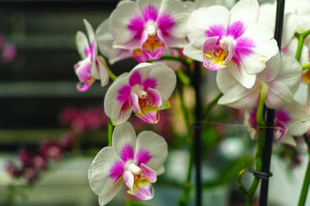 Cultivation of colorful tropical flowering plants orchid family Orchidaceae in Dutch greenhouse for trade and worldwide export