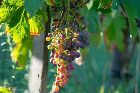 Bio winery red wine grape vineyard in Provence, south of France on sunset