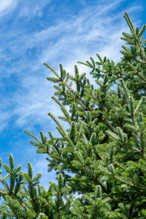 Evergreen Siberian fir tree, symbol of Christmas tree and blue sky copy space
