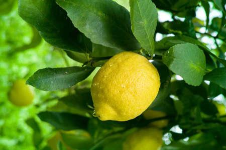Gros citron jaune mûr agrumes accroché sur citronnier close up