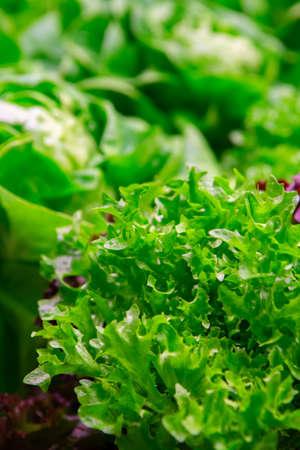 Bio Green fresh butterhead lettuce ready to harvest