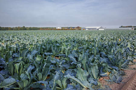 Landscape with field  full of ripe green Romanesco broccoli or Roman cauliflower, Broccolo Romanesco, Romanesque cauliflower, new harvest Imagens