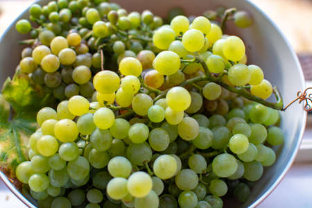 New harvest of white wine grape riesling close up 免版税图像