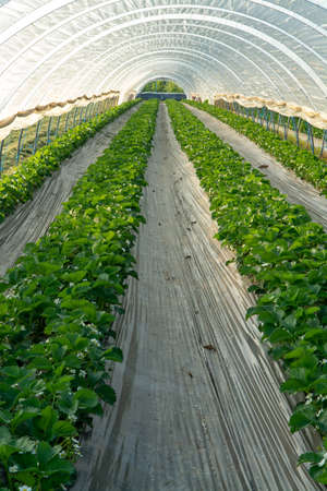 Blossom of strawberry plants growing in outdoor greenhouse covered with plastic film