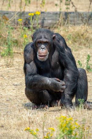 Black chimpanzees monkey leaving in safari park close up Stock Photo