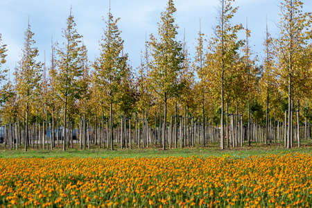 Plantation of trees on tree nursery in Netherlands, specialise in medium to very large sized trees and colorful flowerbed with tagetes flowers in autumn Reklamní fotografie