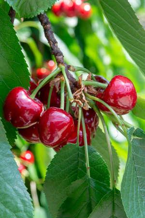 Organic sweet cherry ripening on cherry tree close up, sunny day