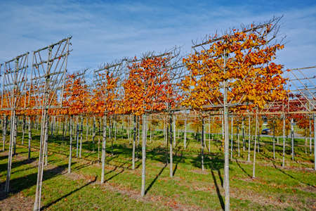 Big espaliered decorative alder trees growing on nursery plantation in Netherlands