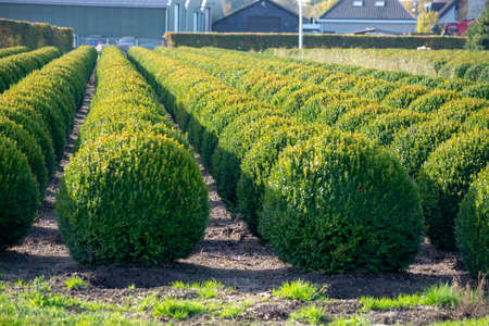 Evergreen buxus or box wood nursery in Netherlands, plantation of healthy big round box tree balls in rows during invasion of box wood moth in Europe 写真素材